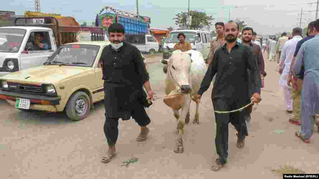 Men accompany a sacrificial cow as they prepare for Eid al-Adha in Islamabad.