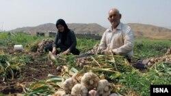 مزرعه سیر در همدان