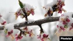 Ձյունը ծաղկած ծառի վրա, Երևան, 30-ը մարտի, 2014թ․