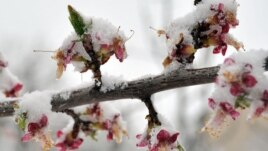 Armenia - Blossoms covered by snow, Yerevan, 30Mar2014.