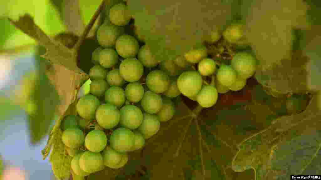 Вот-вот поспеет виноград