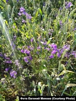 Пшеничное поле и сорняки