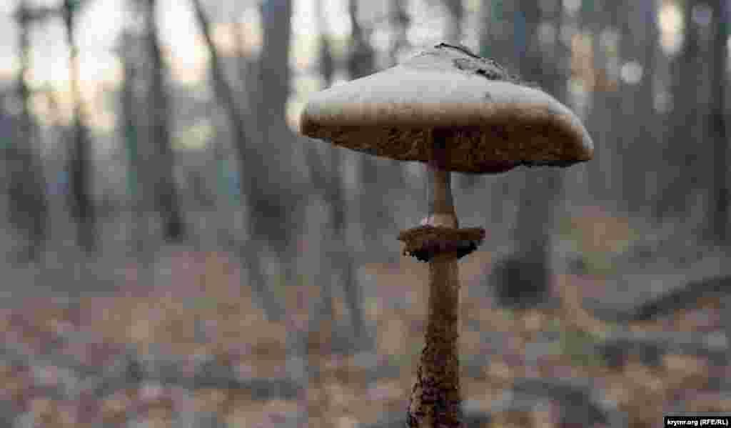 Зустрічається і гриб-парасолька строкатий – делікатес грибних гурманів