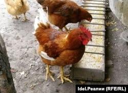 По данным Ассоциации яичных производителей Казахстана, после прошлогодней вспышки птичьего гриппа, когда, по официальным данным, погибло 2,6 миллиона кур-несушек, пять птицефабрик яичного направления по стране приостановили свою работу.