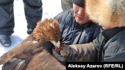 После выступления беркута хозяин кормит его свежим мясом. Алматинская область, 23 февраля 2013 года.