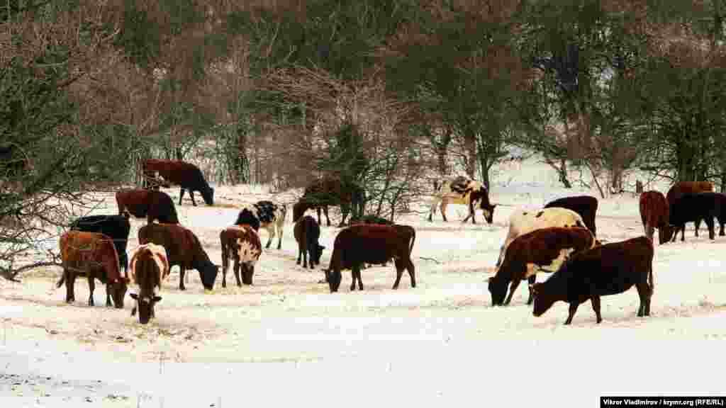 Зовсім поруч пасуться корови