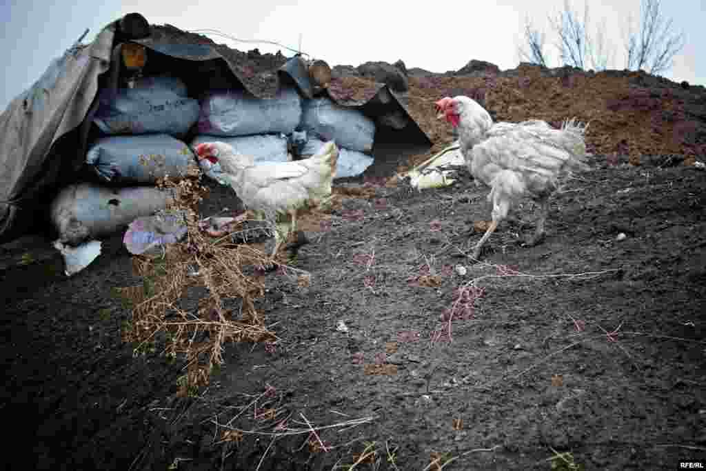 Курчата бігають поблизу укріплень. Птахи живуть у саморобних хатинках, які їм зробили солдати