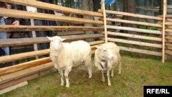 Невибагливі і примхливі вівці