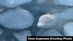 """Белуха в """"китовой тюрьме"""""""