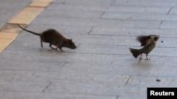 Șobolanii pot fi văzuți uneori și în timpul zilei pe străzile marilor orașe.