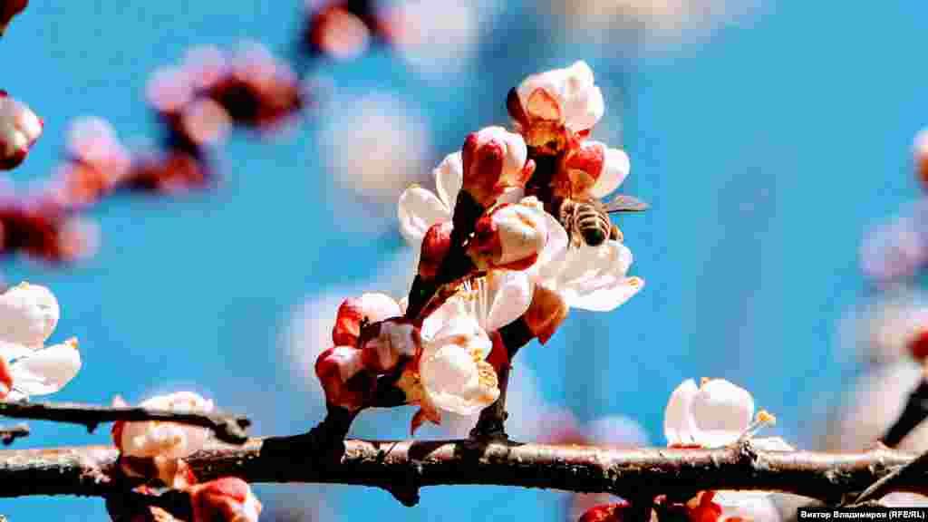 Безліч бджіл від самого ранку злетілися до квітучого дерева абрикоса