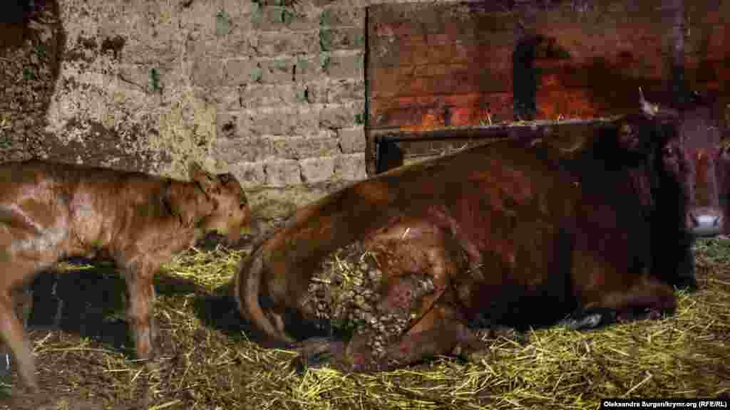 Sığır ve yañı doğğan buzav. Abduveliyev ayvannıñ adını daa bilmeyler, dep ayta