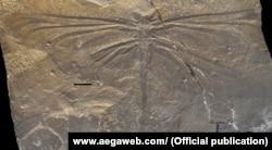 Cтрекоза Tupacsala niunamenos, найденная в провинции Ла Риоха