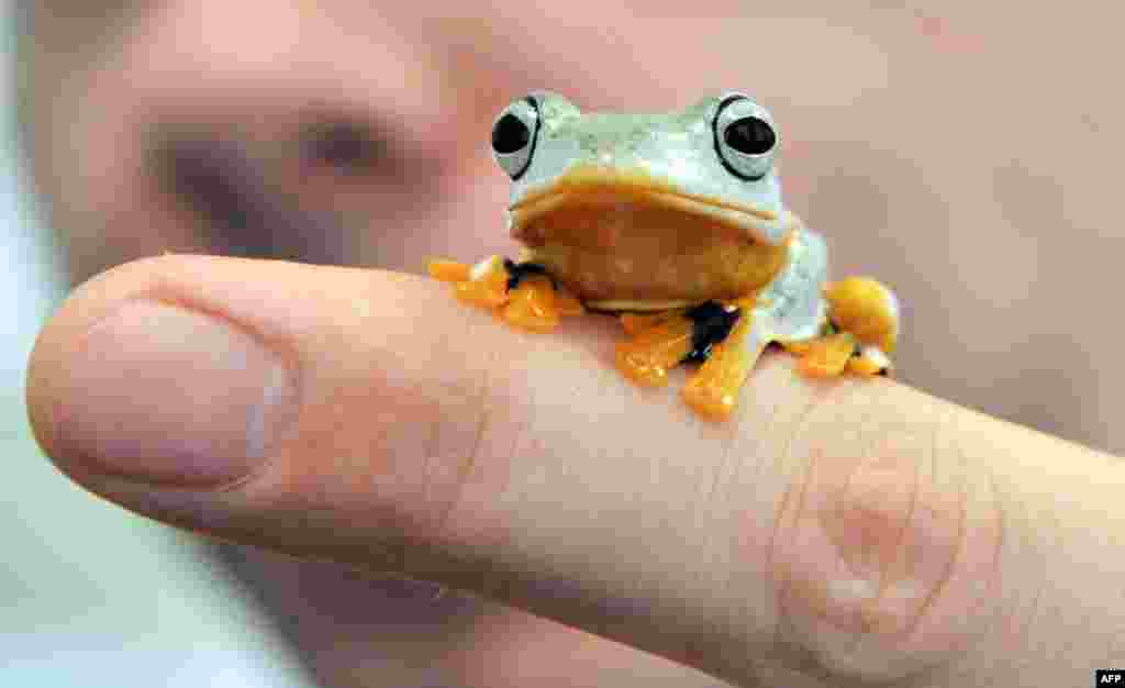 "A green flying frog, also known as a Reinwardt's tree frog or black-webbed tree frog, sits on someone's finger at the State Museum of Natural History in Karlsruhe, Germany, to promote the show ""Bottomless -- Through the Air and Under Water."" (AFP/Uli Deck)"