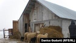 Bez pomoći gazde, tek rođeno jagnje može da se smrzne
