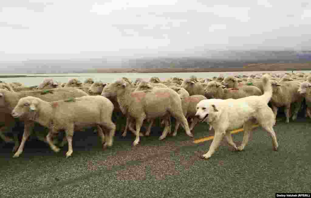 На мосту я встретил огромную отару овец в сопровождении индейца-пастуха и веселой собаки