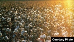 A cotton field in Uzbekistan (file photo)