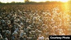 Uzbekistan - cotton field in Uzbekistan