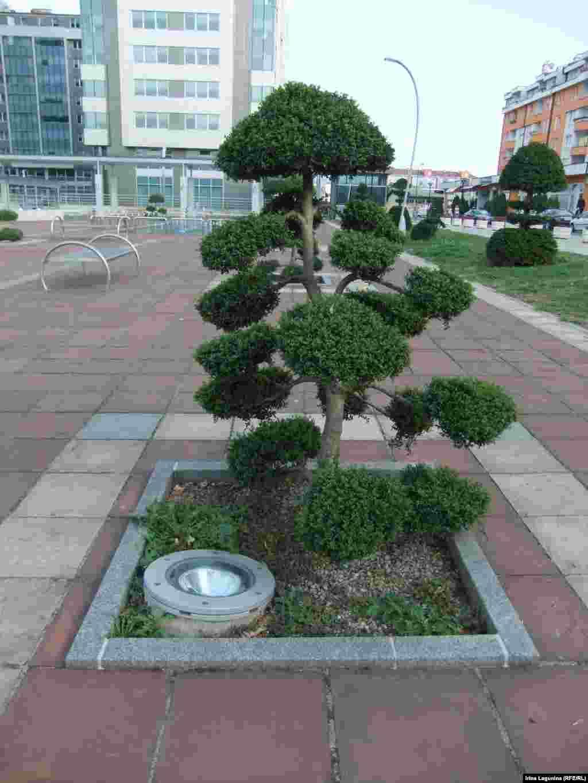 15 деревьев бонсай украшают площадь перед Домом правительства