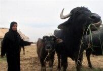A Marsh Arab girl tends buffalo near Al-Basrah in March (AFP)