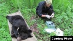 Медицинская помощь гималайскому медведю
