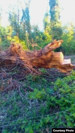 Zaqatalanın Muxax kənd ərazisinə düşən meşə zolağında kəsilmiş ağaclar. may2017