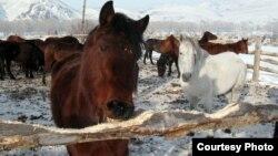 """Лошади на туристической базе """"Конный двор"""". Усть-Каменогорск, 2 января 2013 года. Фото предоставлено посетителями турбазы."""