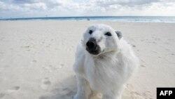 A climate change activist wears a polar bear costume