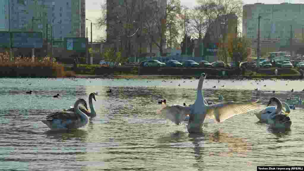 Лебедь идет на взлет