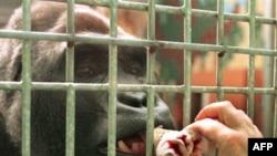 Свобода встречает радостно у входа не всех: горилла Тони прописана в зоопарке немецкого Саарбрюккена, и Мадрид последнему не указ