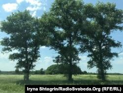 Дорослі дерева потужним корінням підтягують воду до поверхні землі. Біля них часто є джерела