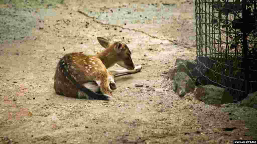 Молодой олень отдыхает на земле