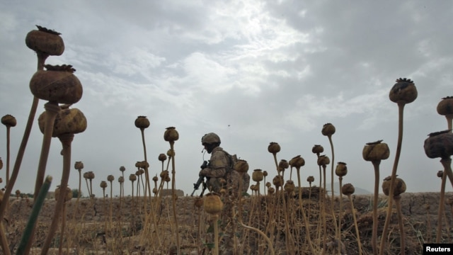 A Canadian soldier walks through a poppy field in Afghanistan's Kandahar Province.
