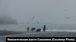 Медведи ждут рыбу на берегу моря