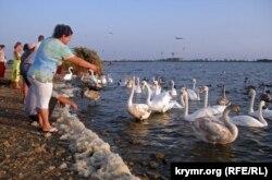 Жители Евпатории и туристы кормят диких лебедей, гусей и уток, обитающих на соленом озере Сасык-Сиваш. 25 сентября 2015 года