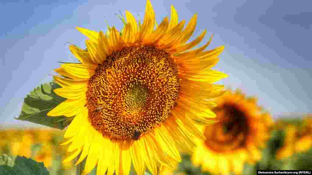 Küneş çeçekleri iyül başında güllenip başlay