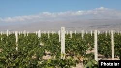 Armenia - A large vineyard in Armavir province, 15Oct2012.