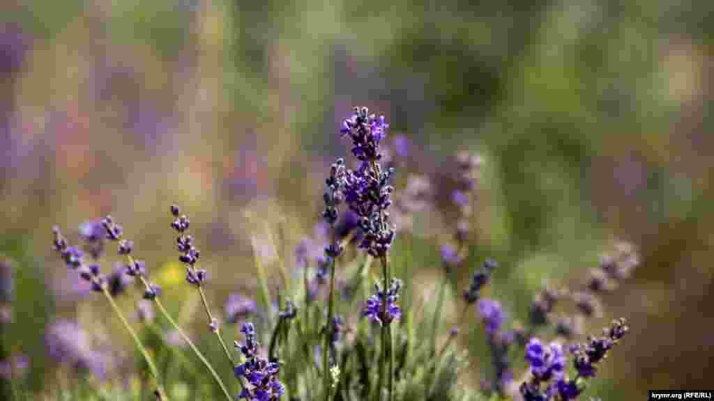 Лаванда цвіте з середини червня і до кінця липня
