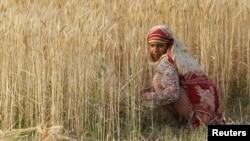 Pšenično polje u Pakistanu