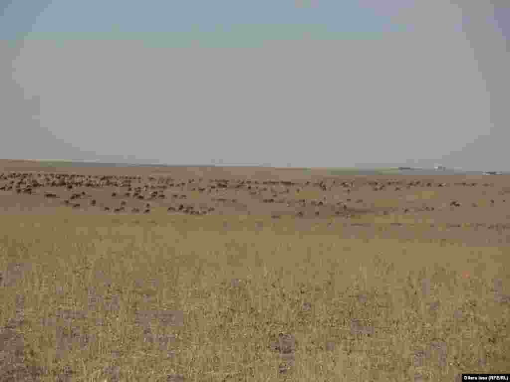 Шесть семей пастухов владеют отарой, в которой более 500 голов овец.