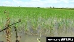 Рисовое поле в Херсонской области