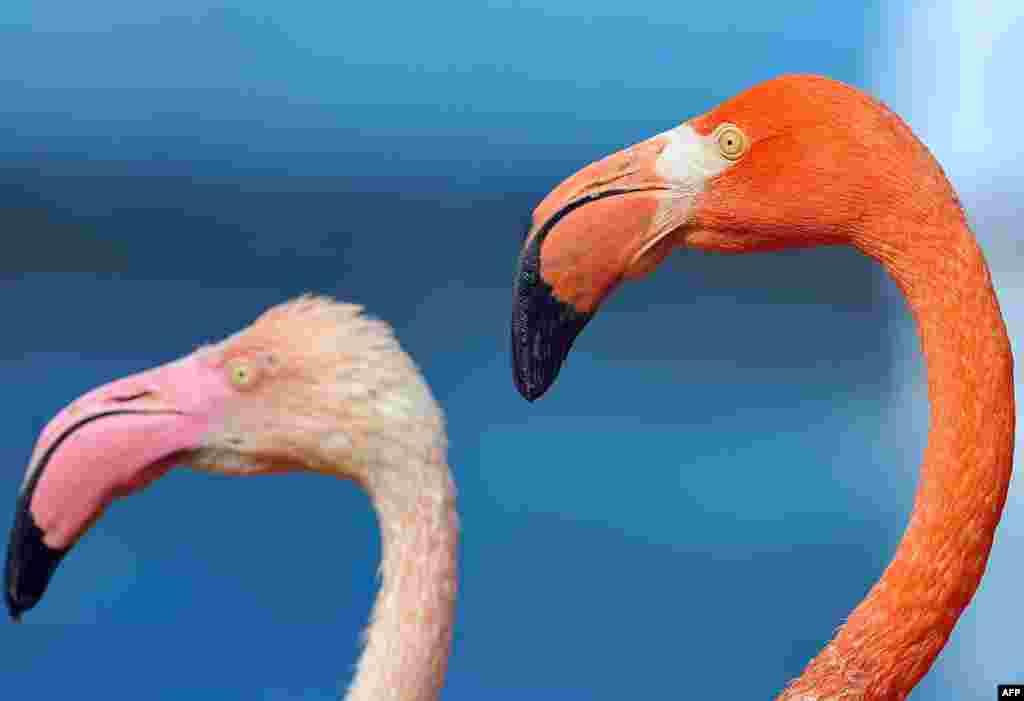 Первая прогулка фламинго после зимовки в зоопарке Сеула