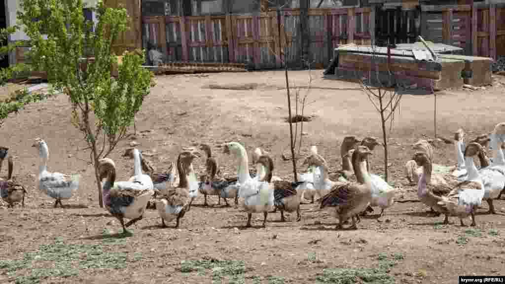 Гуси на сільському подвір'ї