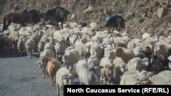 Перегон отары в Дагестане