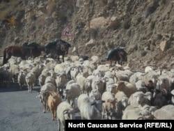 При перегоне скота фермеры теряют сразу несколько голов