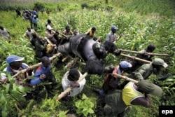 Горная горилла, убитая браконьерами. Национальный парк Вирунга, Демократическая республика Конго, 2007 год