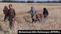 آرشیف، مزارع گندم در افغانستان