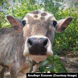 По всей Индии коровы гуляют сами по себе