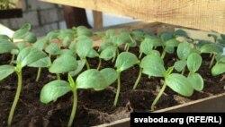 Кволыя маладыя агуркі ў пачатку сакавіка