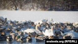 Zbog zaleđenog Dunava, Save, Tise i Velike Morave, trenutno je ugroženo oko 350.000 ptica